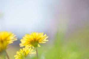 春の象徴、たんぽぽ