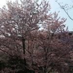 北海道大学の春の風景(*^^*)