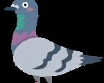 鳩の子育て