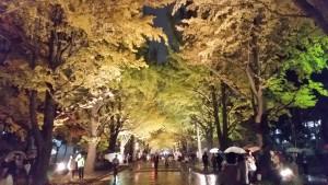 イチョウ並木のライトアップ@北海道大学