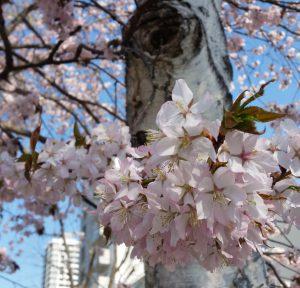 北大の桜-摂理☆祝福の方程式