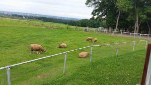 羊ちゃんの群れが放牧されていました!